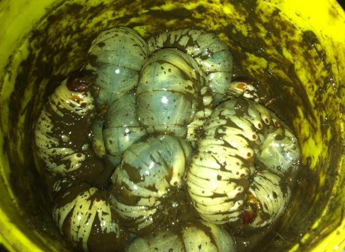 Delicious maggots