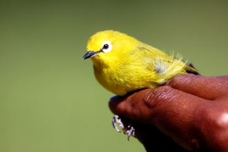 African Yellow White-eye, Zosterops senegalensis