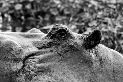 Common hippopotamus, Hippopotamus amphibius kiboko