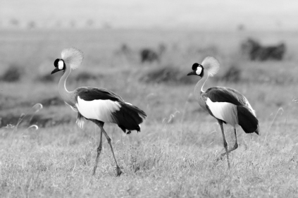 Grey crowned crane, Balearica regulorum