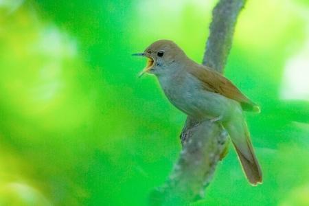 Nightingale-3