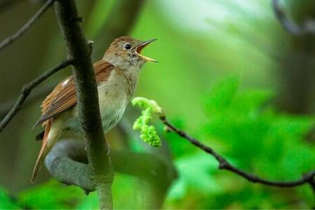 Nightingale02
