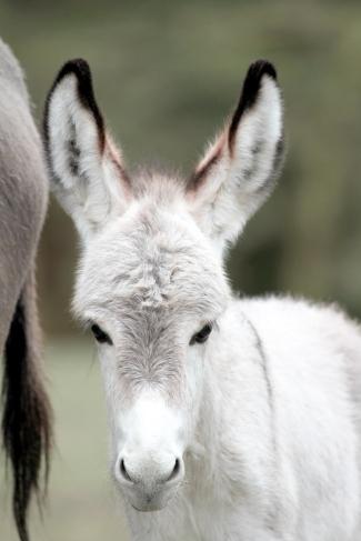 Punda, Equus asinus
